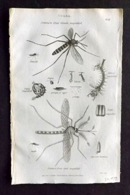 Shaw 1805 Antique Insect Print. Culex 109